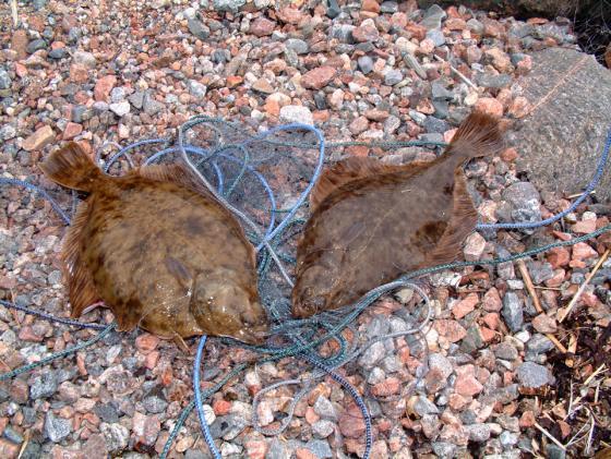 Kalabongaus. Suomessa on ainakin noin 50 vähemmän tunnettua kalalajia.