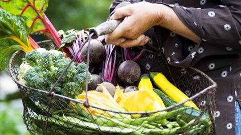 Puutarhan lumoissa: Viljalti vihanneksia. Kuva: YLE Kuvapalvelu