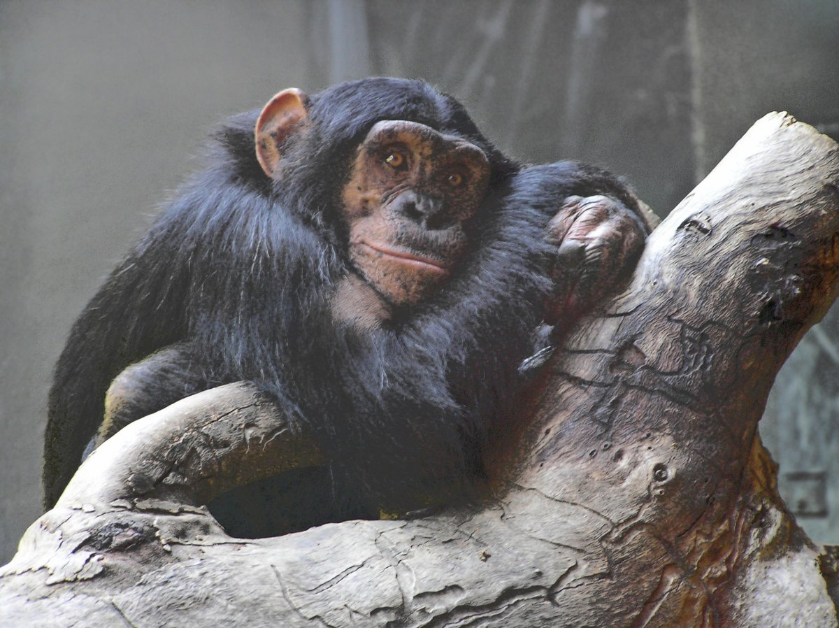 Daydreaming chimpanzee by Chad Littlejohn
